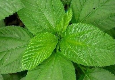 10gram rau Day ute Seeds Saluyot Molokhia Egyptian Spinach Seeds