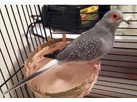 diamond doves and canarys