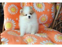 Teacup Pomeranian female