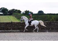 16.1hh show jumper/pc horse/schoolmaster