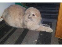GORGEOUS friendly rabbit [male]