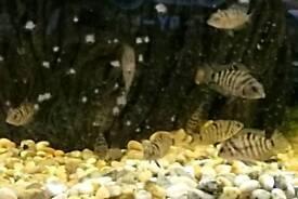 Tropical fish Convict cichlid's juvenile