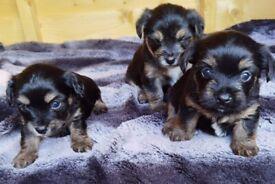 Chorkie pups (Chihuahua x Mini Yorkshire Terrier)