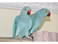 Baby Blue Ring neck talking parrots for sale