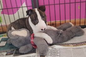 Gorgeous Miniature Bull Terrier Boy
