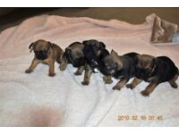 FRENCH BULLDOG PUPPIES 4 WEEKS OLD KC REG DEPOSITS NOW BEING TAKEN