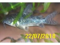 Limited Offer Peppered Cory Corydoras Catfish (Corydoras paleatus) from £1 each