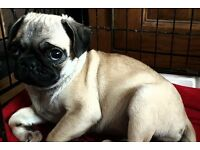 Kennel Club Registered Female Pug Puppy 12 Weeks Old**