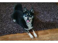 Stunning 18 month old female F1 pomsky