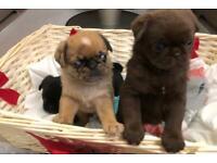 Pug Chocolate merle puppies