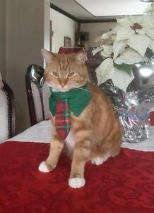 Adult Female  - Domestic Short Hair - orange and white West Island Greater Montréal image 2