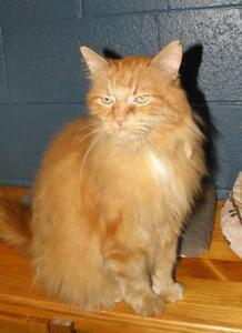 "Senior Male Cat - Domestic Long Hair: ""Mack"""
