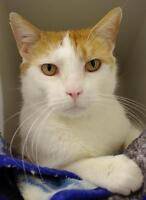 Adult Male  - Domestic Short Hair - orange and white-Tabby