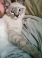 LOST KITTEN IN CLEARBROOK 100$ REWARD