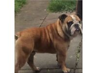 Male British bulldog