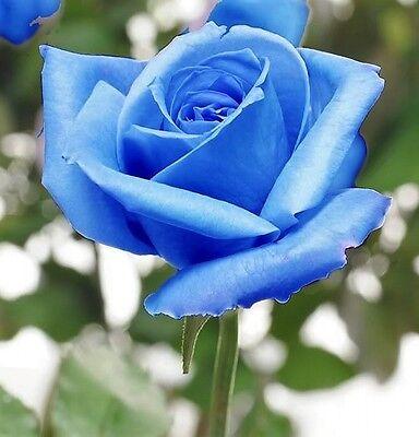 5 Blue Rose Rosa Bush Shrub Perennial Flower Seeds   Gift   Comb S H