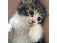 Stunning Bengal mix kittens ready now