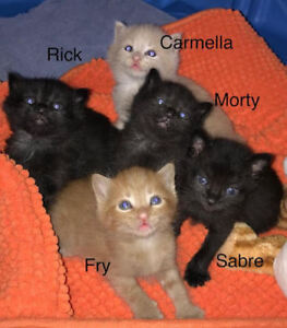 Five Kittens For Adoption. Rick, Carmella, Morty, Sabre and Fry