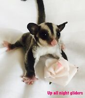 Male sugar glider joey