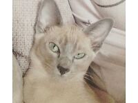 Tonkinese cat free to a (good) home