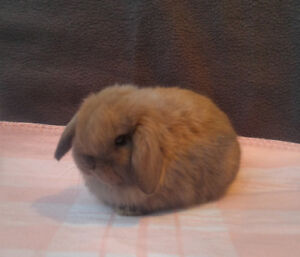 Holland lop baby bunnies