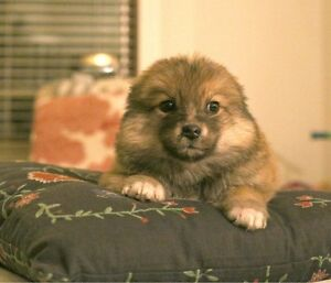 Amazing pomsky-cross puppies for sale