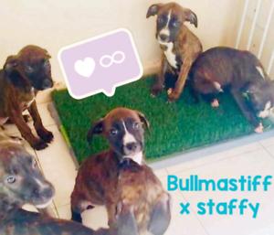 bullmasitif x staffy puppies