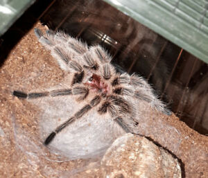 Willing to take in unwanted tarantulas (New World only)