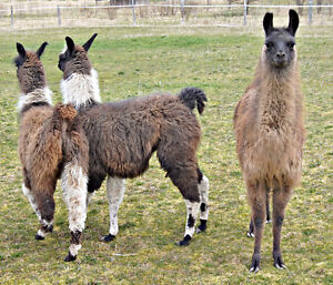 LLAMAS, babies from 2016, for sale