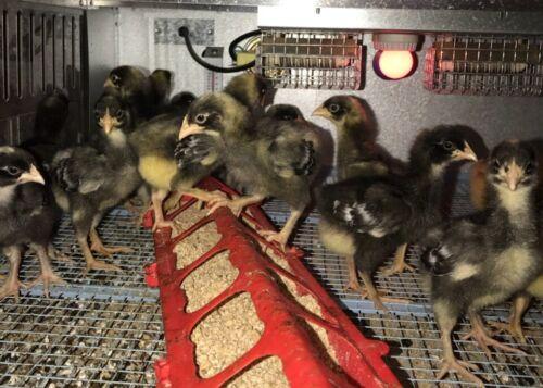 12+ Malines Chicken Hatching eggs  Ultra rare