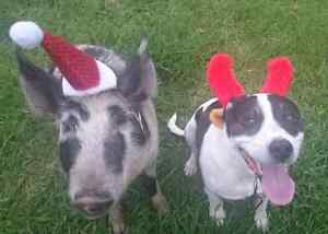 Looking for a semi- rural rental for my dog and miniature pig Bucca Coffs Harbour Area Preview