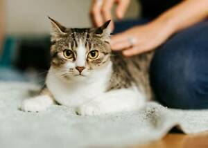 1088 : Alika - CAT for ADOPTION - Vet Work Included