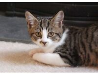 Lost Tabby Cat in Park Street area of St Albans