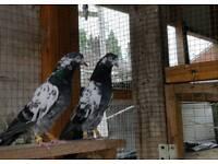 Pakistan teddy pigeons for sale west Midlands