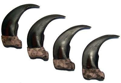 LARGE 3 IN SYTHENTIC GRIZZLY BEAR CLAW brown bears black wild animal claws resin