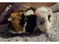Peruvian Guinea Pig Babies