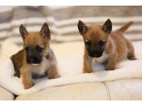 Stunning WestiePoo x JackRussel puppies fawn&brindle