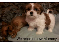 We Are Beautiful Shorkie - Shih Tzu x Yorkie Puppies looking for new Mums and Dads