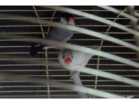 Pair of java finches