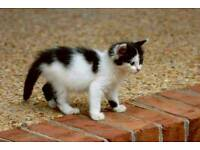 8 weeks old kitten