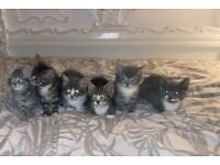ONLY 2 LEFT!!!! x rag doll kittens ready today
