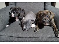KC registered Staffy pups