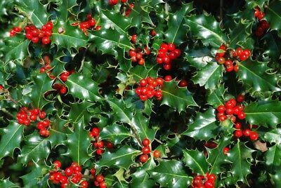 30 Holly Evergreen Hedging Plants, Ilex Aquifolium 25-40cm Grown in 10 cm Pots