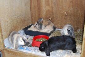 dwarf lop rabbit bucks and does