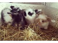 4 beautiful pure mini lops