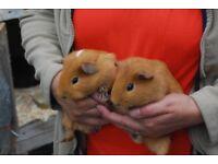 pairs of guinea pigs