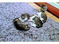 Norwegian forest X kittens ready for RESERVE