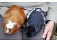 2 GUINEA PIG SOWS