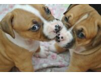 Xl bully | Dogs & Puppies for Sale - Gumtree