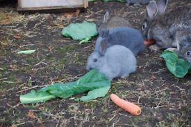 Baby bunnies for sale. male and female rabbits. Cross between dwarf and lionhead.
